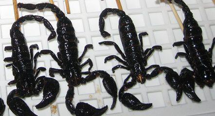 scorpions in Thailand